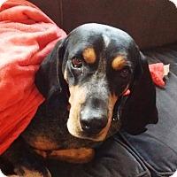 Bluetick Coonhound Mix Dog for adoption in Chicago, Illinois - Jethro 3