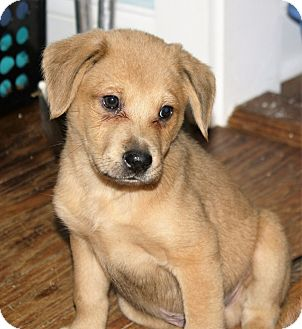 Shepherd (Unknown Type)/Labrador Retriever Mix Puppy for adoption in Hayes, Virginia - Herman