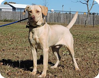 Labrador Retriever Mix Dog for adoption in Berkeley Heights, New Jersey - Taylor