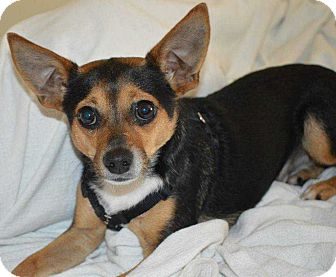 Chihuahua/Terrier (Unknown Type, Small) Mix Dog for adoption in LaGrange, Ohio - Vinnie