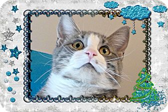 Domestic Shorthair Cat for adoption in Spring Brook, New York - Troy