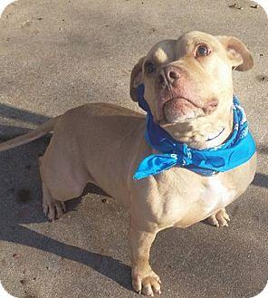 American Bulldog Mix Dog for adoption in Bridgewater, New Jersey - GORDO
