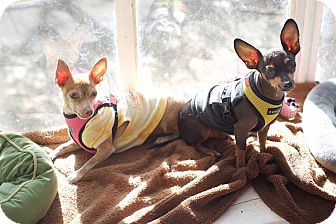 Chihuahua Mix Dog for adoption in Van Nuys, California - Frick