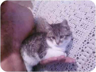 Domestic Shorthair Kitten for adoption in Washington Terrace, Utah - Kitty-Kat