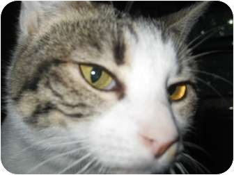 Domestic Shorthair Cat for adoption in North Highlands, California - Antoinette