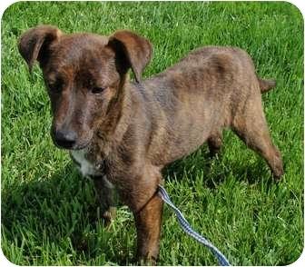 Feist Mix Puppy for adoption in Fairmount, Georgia - Graham