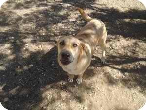 Labrador Retriever Mix Dog for adoption in Anza, California - Sweetcakes