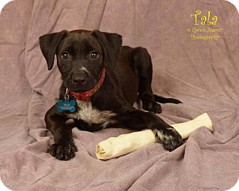 Labrador Retriever Mix Puppy for adoption in Houston, Texas - Tala