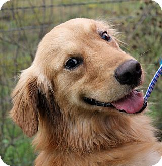 golden retriever texas aidan adopted dog austin tx golden retriever 8223