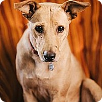 Adopt A Pet :: Loreta - Portland, OR
