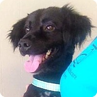 Adopt A Pet :: Blackie (S6) SPONSORED - Lenore, WV