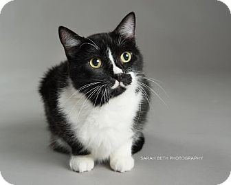 Domestic Shorthair Cat for adoption in Eagan, Minnesota - Duncan
