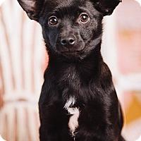 Adopt A Pet :: Skipper - Portland, OR