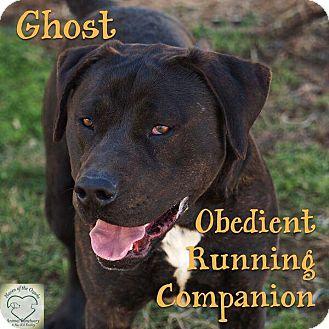 Labrador Retriever/Shepherd (Unknown Type) Mix Dog for adoption in Washburn, Missouri - Ghost