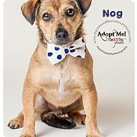 Dachshund Dog for adoption in Weston, Florida - Nog