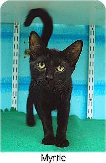 Domestic Shorthair Kitten for adoption in Huntington, New York - Myrtle 2016065