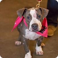 Adopt A Pet :: Chester III - Dallas, TX