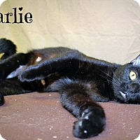 Domestic Shorthair Cat for adoption in Melbourne, Kentucky - Charlie