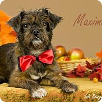 Adopt A Pet :: Maximus is Reserved - Kirkland, QC