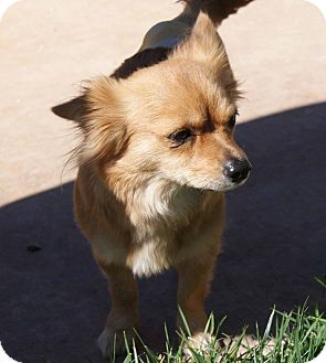 Pomeranian/Chihuahua Mix Dog for adoption in Apple Valley, Utah - Tory