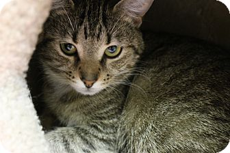 Domestic Shorthair Cat for adoption in Medina, Ohio - Ruby