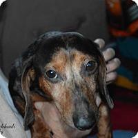Dachshund Dog for adoption in Aurora, Colorado - Chester