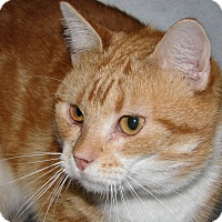 Domestic Shorthair Cat for adoption in Ruidoso, New Mexico - Sneezy