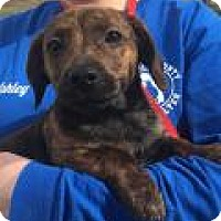 Adopt A Pet :: Precious - available 1/29 - Sparta, NJ