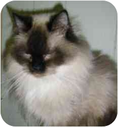 Himalayan Cat for adoption in Strathmore, Alberta - Layla