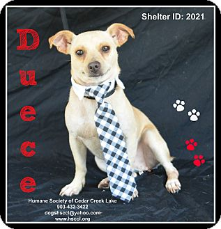 Chihuahua Mix Dog for adoption in Plano, Texas - Duece