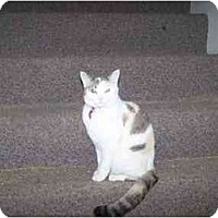 Siamese Cat for adoption in Chattanooga, Tennessee - Molly