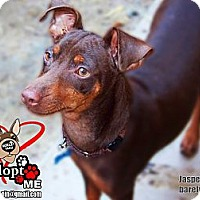 Adopt A Pet :: Jasper JASPER - Huntington Beach, CA