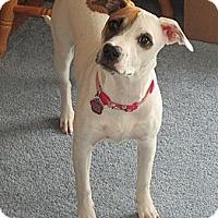 Adopt A Pet :: URGENT!NEW FOSTER NEEDEDSophie - Shrewsbury, NJ