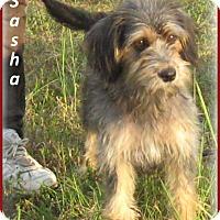 Adopt A Pet :: Sasha- So sweet - Marlborough, MA