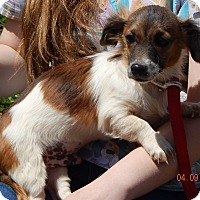 Adopt A Pet :: Teddy (7.5 lb) Precious! - SUSSEX, NJ