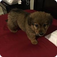 Adopt A Pet :: Kya - Las Vegas, NV