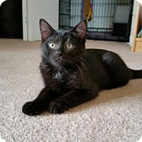 Domestic Shorthair Kitten for adoption in Parker Ford, Pennsylvania - Magic
