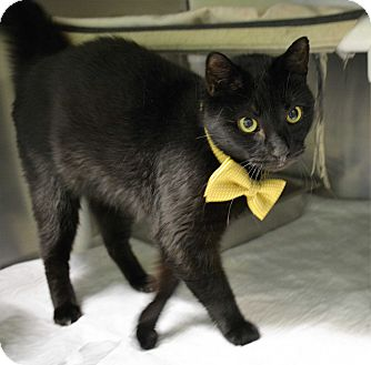 Domestic Shorthair Cat for adoption in Port Jervis, New York - Lucky