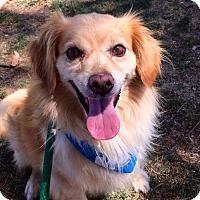 Cavalier King Charles Spaniel Dog for adoption in San Diego, California - Lucky