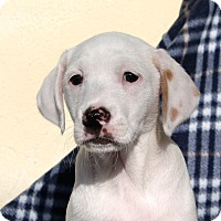 Adopt A Pet :: Olson - Los Angeles, CA