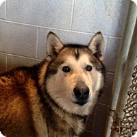 Alaskan Malamute Mix Dog for adoption in Beckley, West Virginia - Sarge
