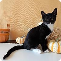 Domestic Shorthair Kitten for adoption in Roanoke, Texas - Oreo