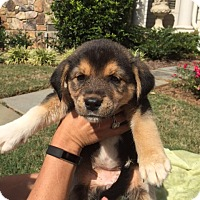 Adopt A Pet :: Camaro - Roswell, GA