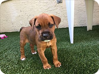 Labrador Retriever Mix Puppy for adoption in Ft. Lauderdale, Florida - Rafe