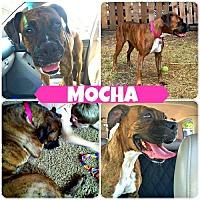 Adopt A Pet :: Mocha 2 - Woodinville, WA