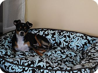 Chihuahua Mix Dog for adoption in West Deptford, New Jersey - Gabby
