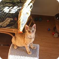 Adopt A Pet :: Dusty - St. Louis, MO