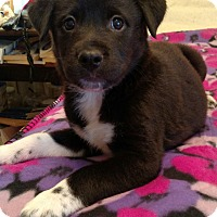Terrier (Unknown Type, Small) Mix Puppy for adoption in Nashville, Tennessee - Lily