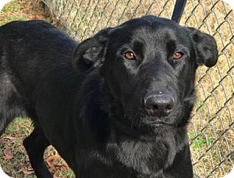 Labrador Retriever/Shepherd (Unknown Type) Mix Dog for adoption in Chester Springs, Pennsylvania - Orson