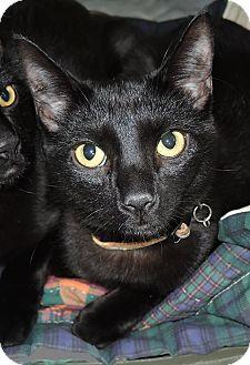 Domestic Shorthair Kitten for adoption in Garland, Texas - Charlie (#1)